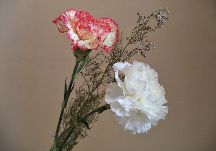 two pink and white carnations