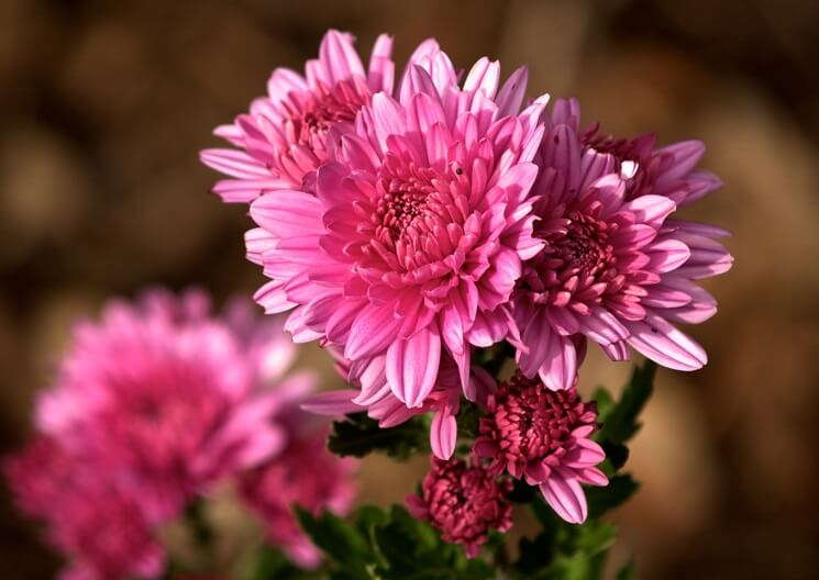 pink chrysanthemum as funeral flowers