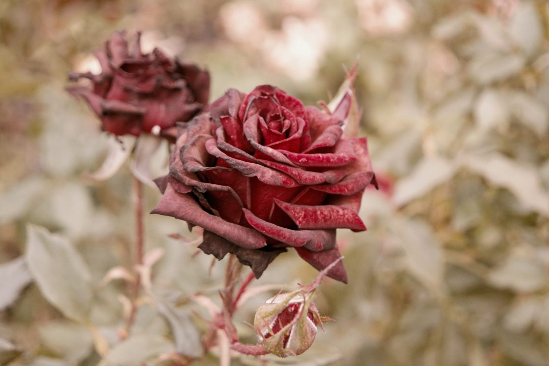 Deep red roses in autumn garden. Two rose flowers dying in fall, a lot of space for text. Selective focus. Vintage color. Two wilted roses in autumn garden. Red roses is dying blooming season is over
